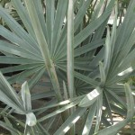 silverpalm
